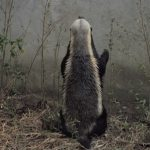 Honey Badger ,Kept ,Escaping, He Set Up ,A Camera,camera,smart animals,genius animals,video,cute