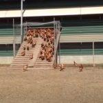 Impressive Free-Range Chickens