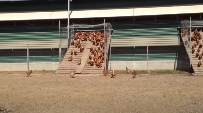 Chickens, Chicken, Free-Range, Camera, Film, hidden camera, farm, farmer, ranche,