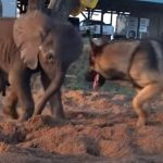 This Sick Baby Elephant Was Rejected By His Herd. But Watch Who Shows Up Behind The Sand Pit…