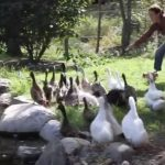 Ducks See Water for the first time