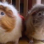 Filming His Guinea Pigs
