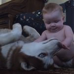 Husky, Act Tough In Front Of ,The Baby,baby,babies,cute baby,cute dog,cute video,video