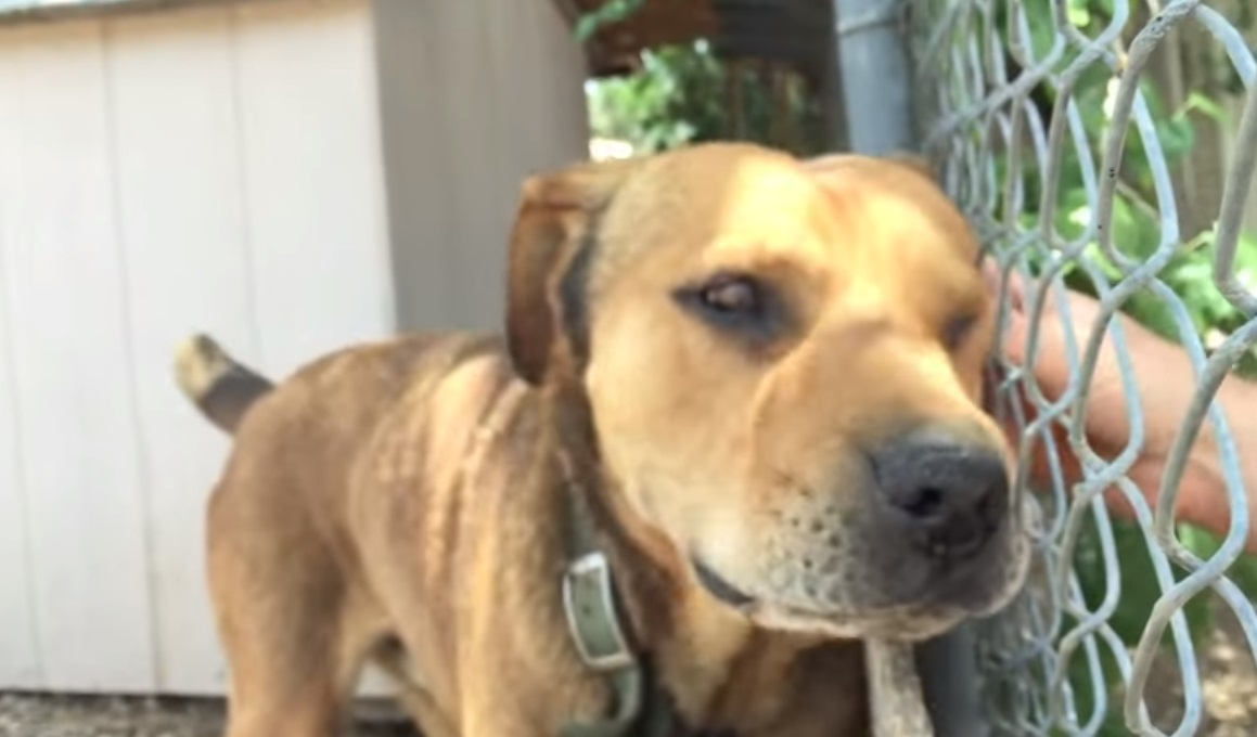 This Dog, Spent, His Whole Life, Chained,chained dog,chains,dog,pets,video,Life