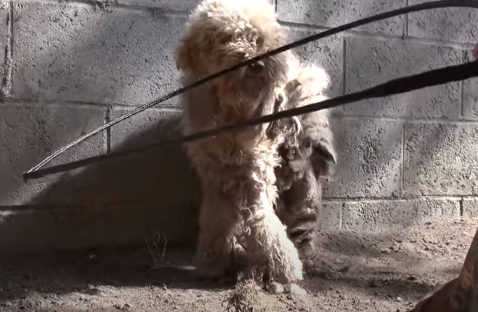car, Poodle, stray dog, rescue, dog, HopeForPaws, transformation,
