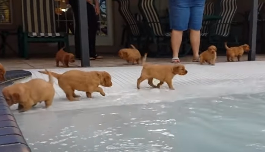 Puppies, Pool, Golden Retriever, Retriever, Golden, Swim, Swimming pool, adorable, sweet,