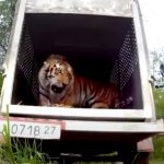 Emotional release of a Siberian Tiger