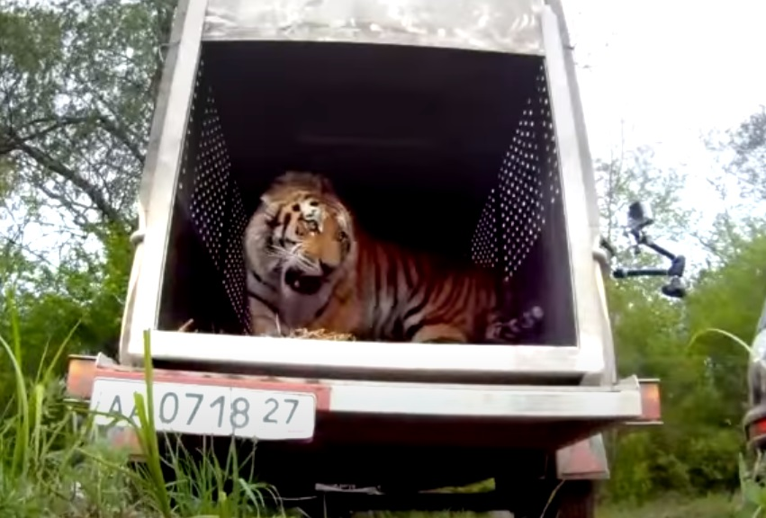 Rare, Tiger, Freedom, Free, footage, Beautiful Creature, Wild, Animals,