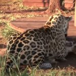 Unlikely friendship between Jaguar and Dog
