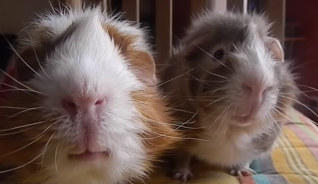 Filming, Guinea Pig,film,funny,cry,pig,hamster,
