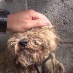 Stray poodle got a huge transformation
