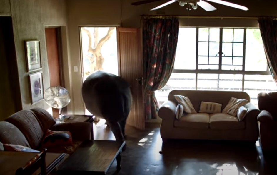 Huge Hippo, Sneaking, House, Home, Huge, Hippo, pet, weird,
