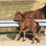 Lost Baby Horse in speeding cars