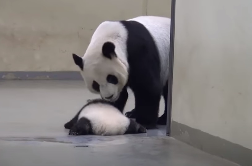 Baby Panda, Run Away, Naptime, Nap, time, Panda, Run, Baby, cute,