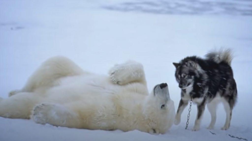 bear, dog, friends ,unlikely friendship, husky, snow, polar bear, weird event, best friend,