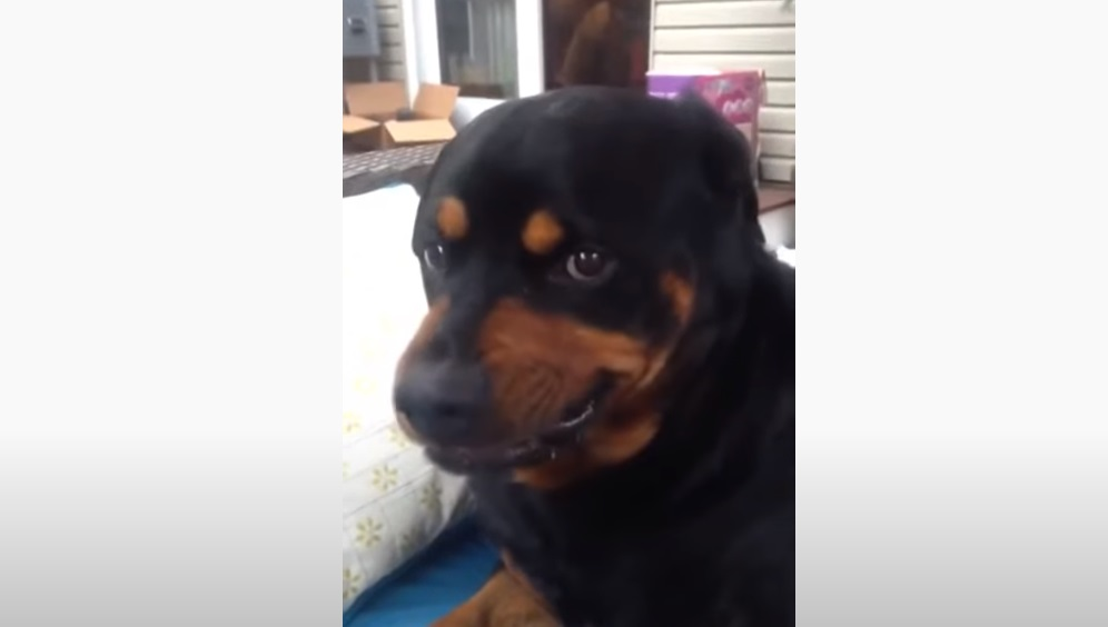 Dog, Mean Face, Face, funny, dad, rottweiler, puppy,