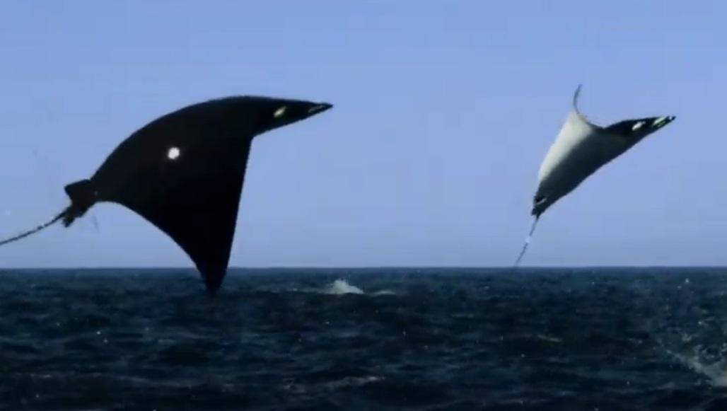 Jump, Water, rays, ocean, sea, amazing, creature, Animals,