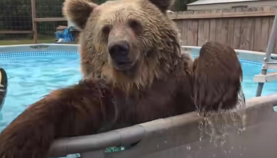 Backyard, amazing, swiming bear, bear, jump, bear, cute video, beautiful, happy,