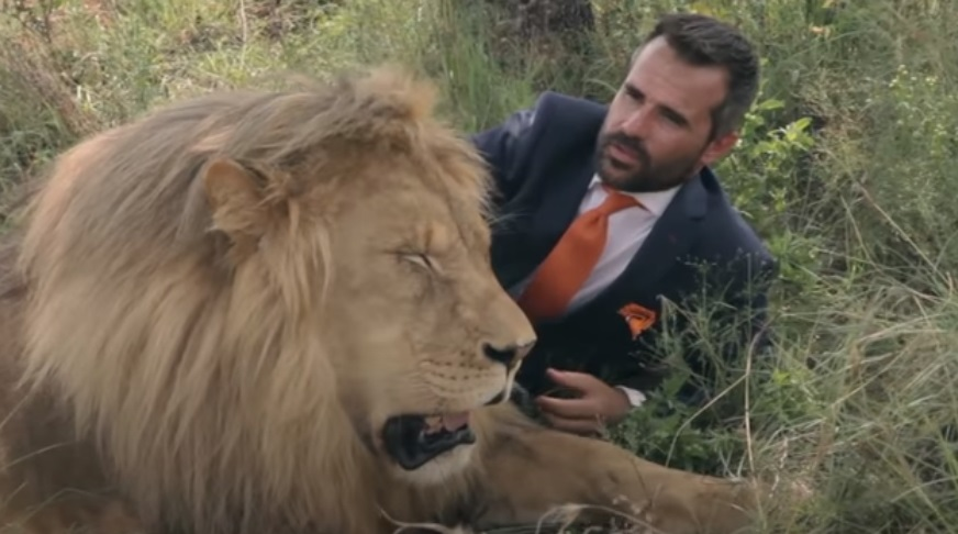 Suit-Wearing, Football, Wild Lion, Wild, Lion, Suit, amazing, trending, Forest, fashion, ad,