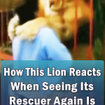 Amazing reunion between a lion and a rescuer