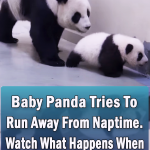 Baby Panda Tries To Run Away From Naptime