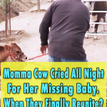 Cow Cried All Night For Her Missing Baby