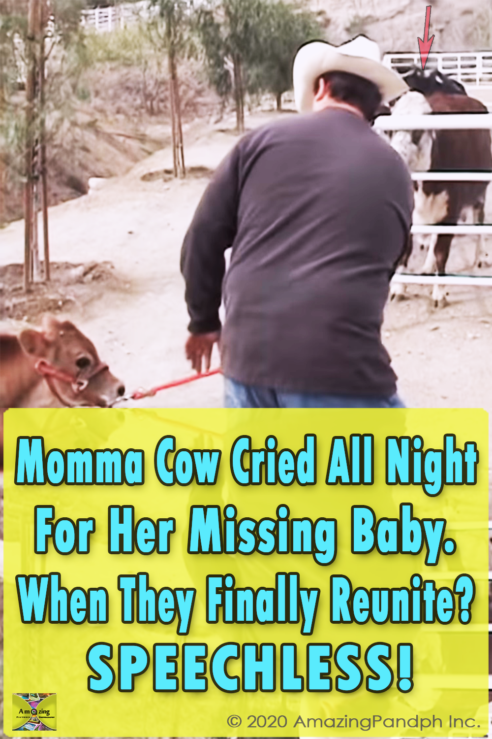 Cow, Missing, Baby, mother, maternity, touching, true story, sad, farm,
