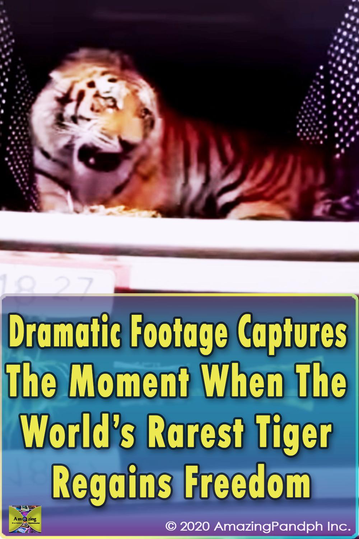 Rare, Tiger, Freedom, Free, footage, Beautiful Creature, Wild, Animals,