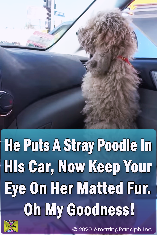car, Poodle, stray dog, rescue, dog, HopeForPaws, transformation,