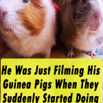 He Was Just Filming His Guinea Pigs