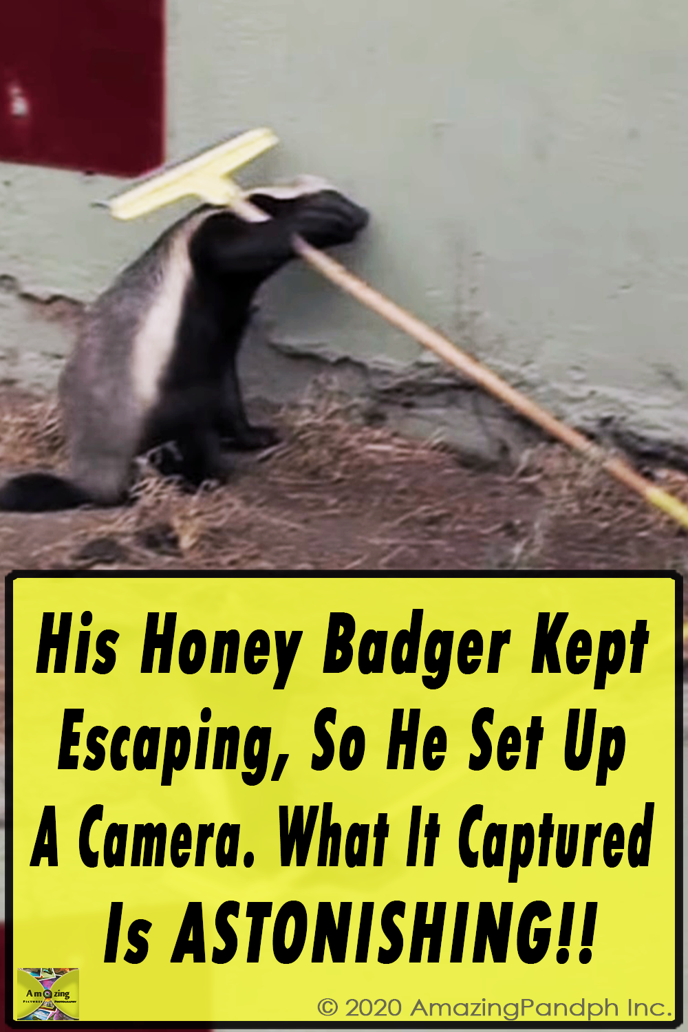 Honey Badger ,Kept ,Escaping, He Set Up ,A Camera,camera,smart animals,genius animals,video,cute