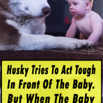 Husky Act Tough In Front Of The Baby