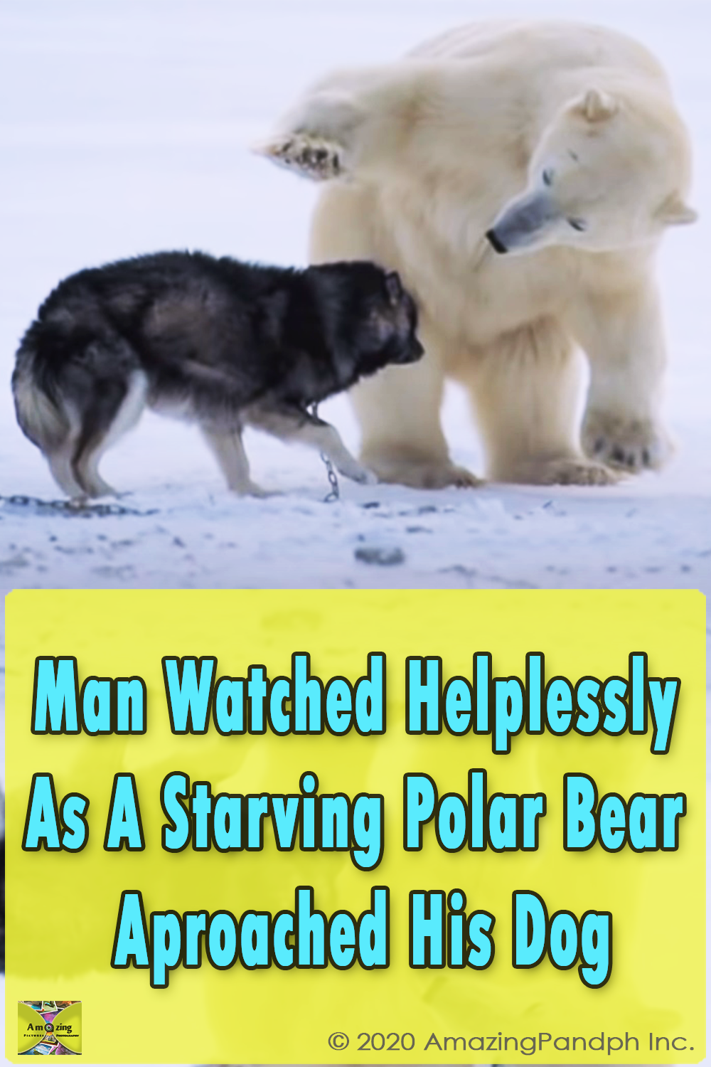 bear, dog, forms unlikely friendship, friends, Husky, Husky dog, Polar, polar animals, Polar bear, unlikely, video, with a husky