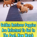 Pool Party for Golden Retrievers