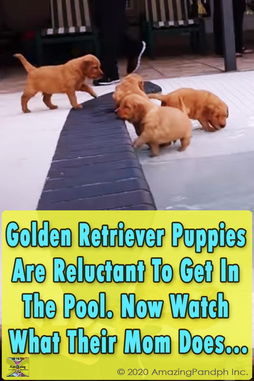 Puppies, Pool, Golden Retriever, Retriever, Golden, Swim, Swimming pool, adorable, sweet,
