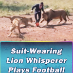 Suit-Wearing Plays Football With Wild Lions