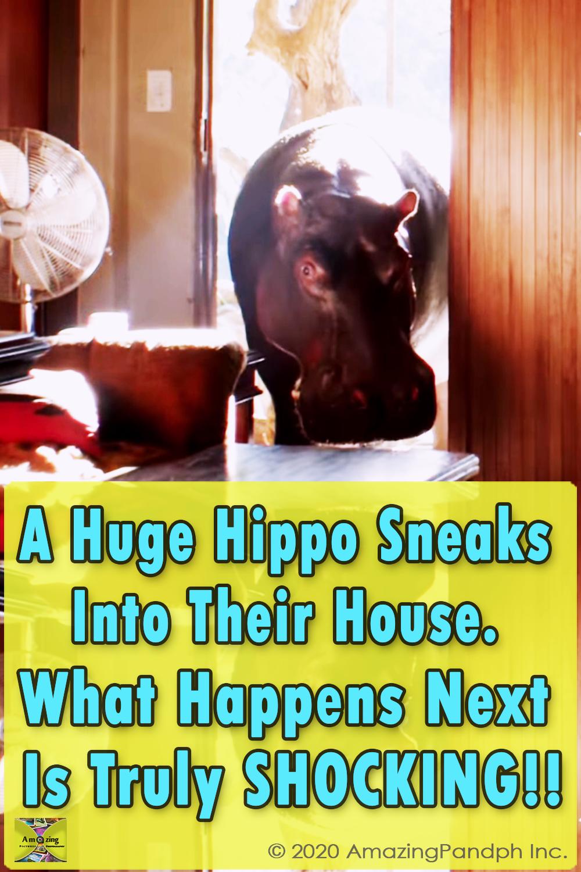 Huge Hippo, Sneaking, House, Home, Huge, Hippo, pet, weird,