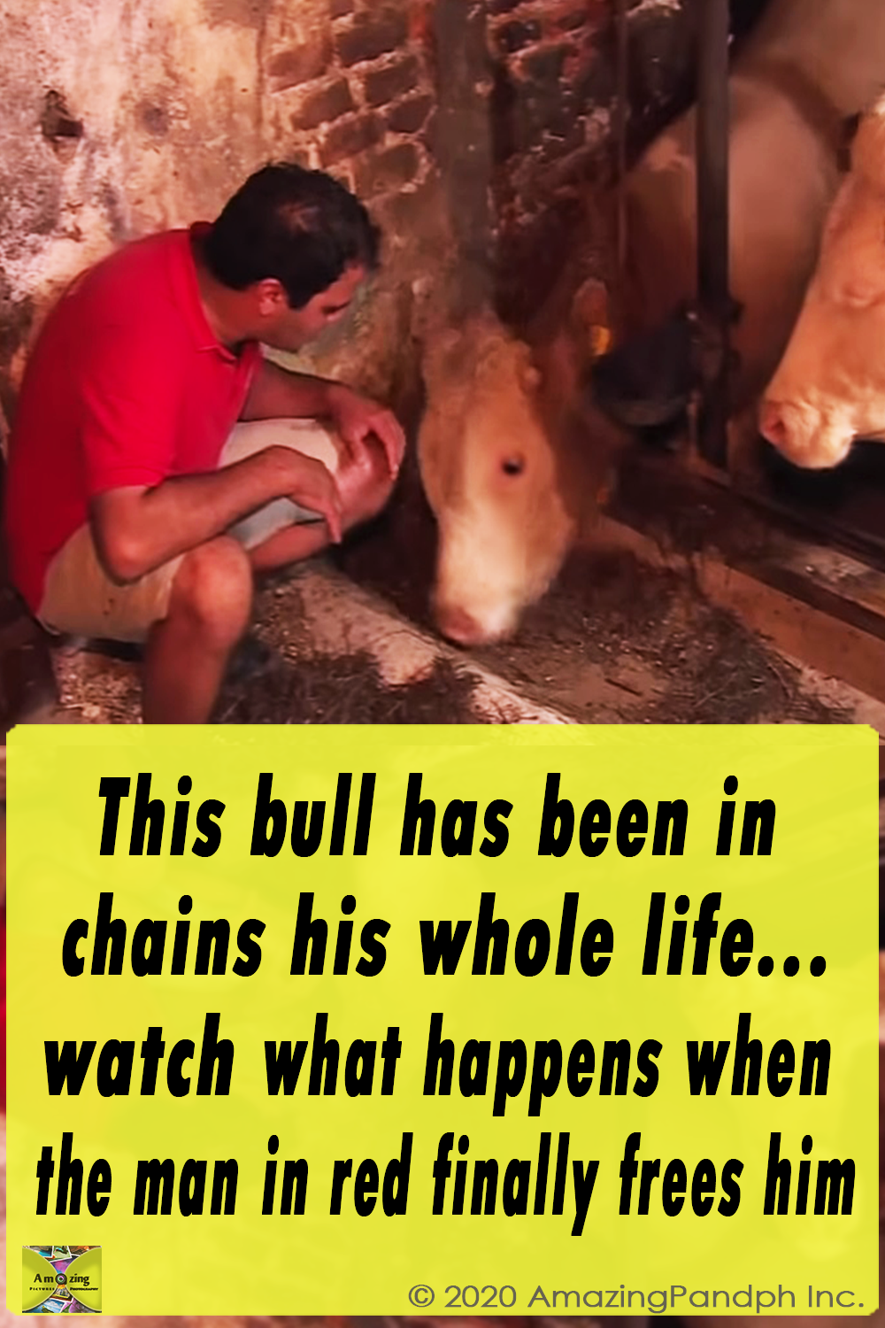 Bull, Free, Rescue, Help, Chained, Life,