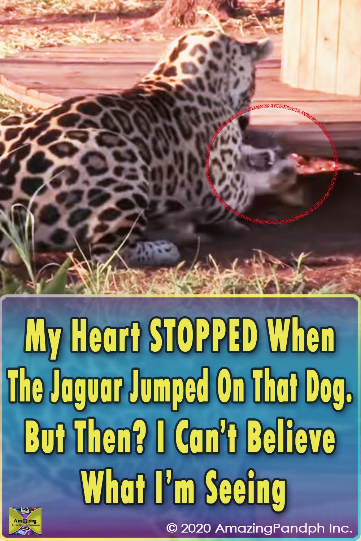 Jaguar, Dog, Jump, unlikely friends, friends, friendship, unbelievable,