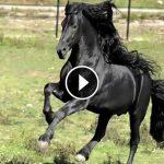 frederik-world-famous-friesian-stallion