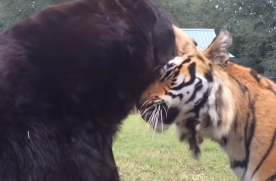 Tiger, Lion, Bear, animals, trending, friendship,