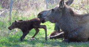 Moose, animals, babies, trending, newborn, adorable,