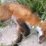 Roadkill Fox On The Side Of The Road