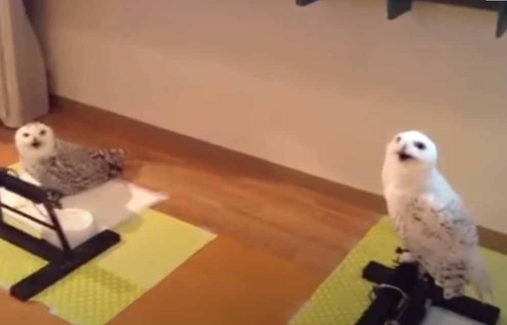Birds, Owl, Funny, Laughing, Animals, Amazing,