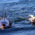 Dolphin Take His Buddy For A Swim