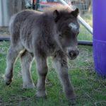 Adorable Miniature Horse