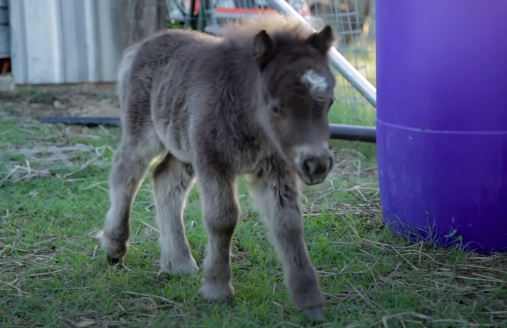 Miniature, Horse, babies, Animals, Adorable, Cute,