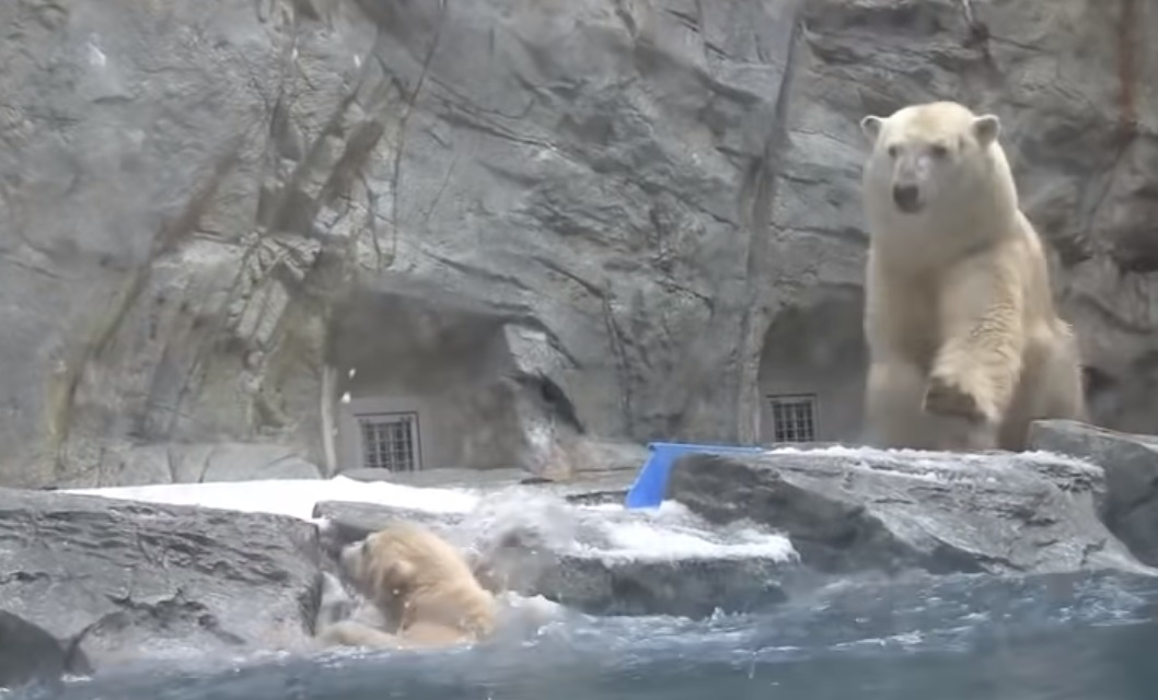 Zoo, Animals, bears, polar, swimming, rescue, mother,
