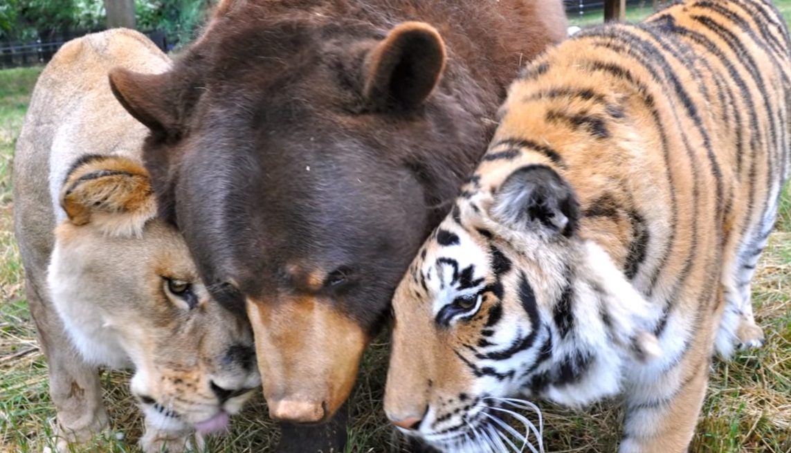 bear, tiger, lion, Friendship, Wild, Rescue Story, Animals,