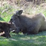 Mommy Moose Gives Birth to Twins
